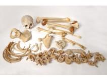 Skeleton human skull study medicine skinned anatomy vanity vertebrae twentieth